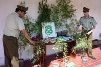 Detienen a dos familiares en Horcón por cultivar marihuana