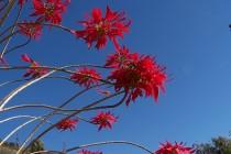 Flor Incaica