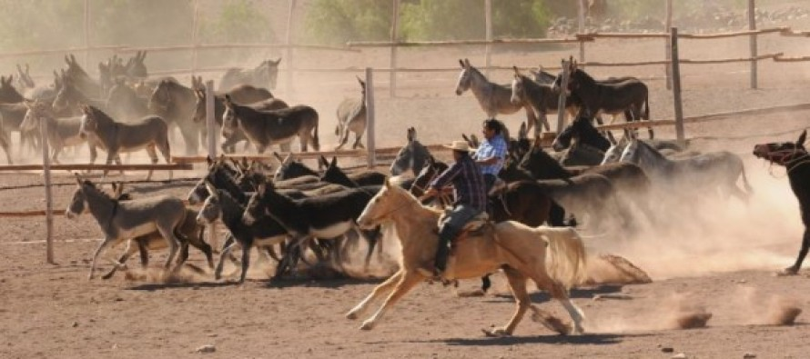 Condoriaco se convirtió en el centro del rescate de tradiciones con el Rodeo de burros