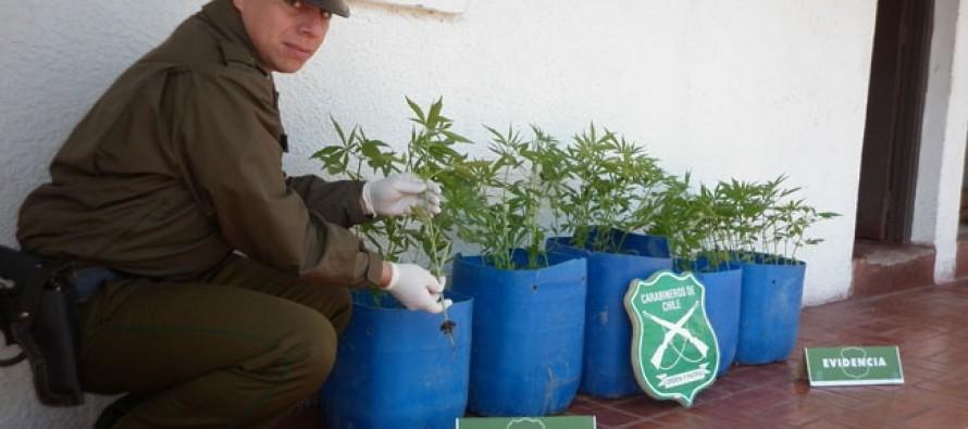 Carabineros decomisa un total de 93 plantas de marihuana en Rivadavia