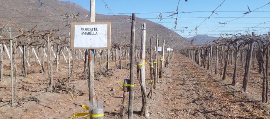 Buscan diversificar la agroindustria pisquera con la reincorporación de nuevas variedades de uva