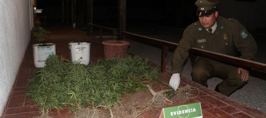 Un total de 14 plantas de marihuana fueron decomisadas en Vicuña