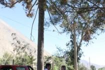 CONAF y municipio de Vicuña buscan soluciones para salvar la araucaria de Diaguitas