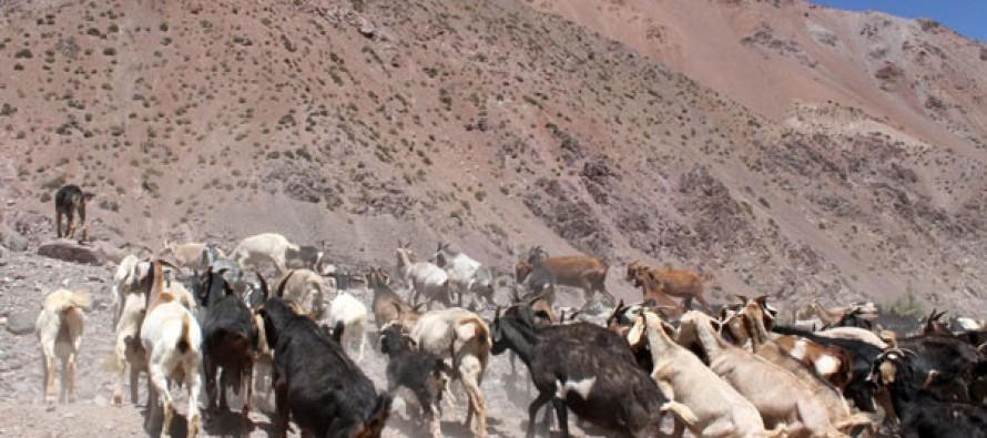 Prevén avances para la reposición de la trashumancia de ganado caprino a los valles de Calingasta