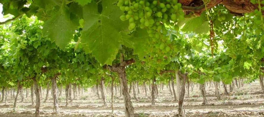 SAN lanza su Programa de Difusión Tecnológica que beneficia a 60 productores de uva