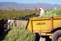 """""""Uvas Pisqueras"""", es el tema de la charla organizada por los productores de pisco"""