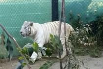 SAG levanta cuarentena de tigre de bengala blanco que está en Serena Zoo