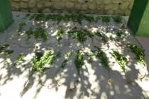 Detienen en Alcohuaz a mujer que poseía 40 plantas de marihuana en su hogar