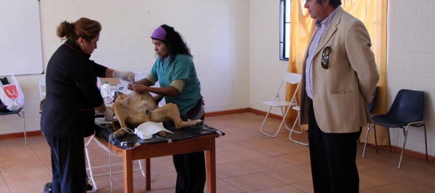 Proyecto municipal operará a un total de 300 mascotas en diversos sectores de Vicuña