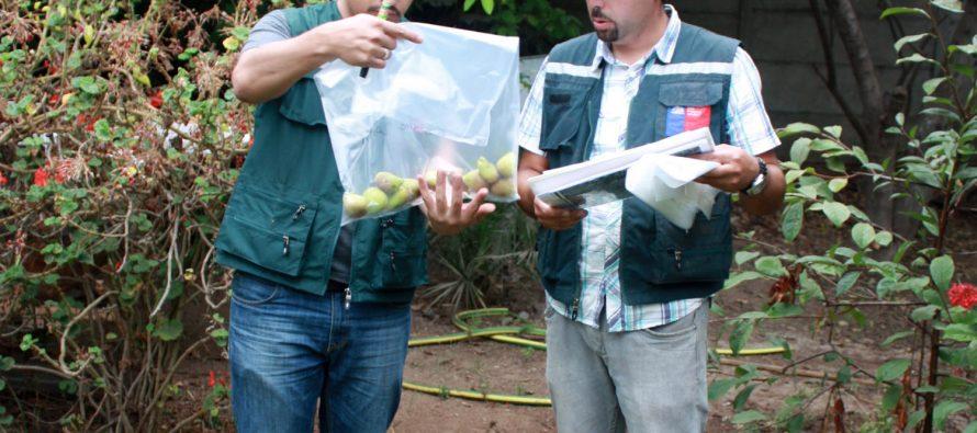 Nuevas capturas de mosca de la fruta registra el SAG durante este fin de semana en La Serena