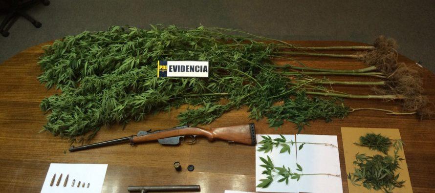 PDI incauta 24 matas de marihuana y dos armas de fuego en El Molle