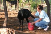 Crianceros se capacitan en mejorar proceso productivo del queso de cabra