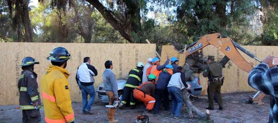 """Cae árbol en plaza de Vicuña producto del """"Terral"""" y daña vehículo que estaba estacionado"""