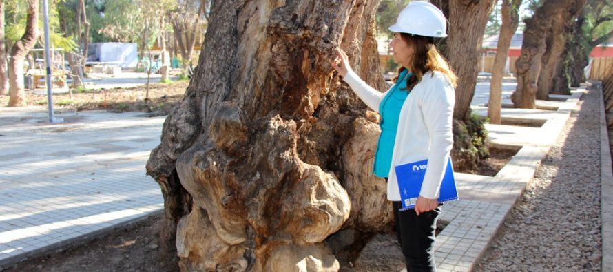 Con el propósito de preservar los árboles de la Plaza de Armas realizan poda de limpieza