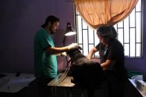 Continúan las esterilizaciones de perros y gatos que sumarán más de 1.200 este 2015
