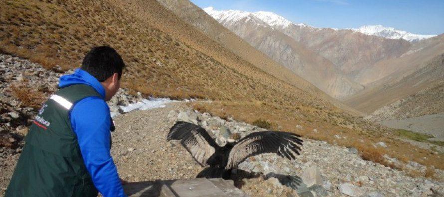 El SAG libera a cóndor encontrado en Pisco Elqui