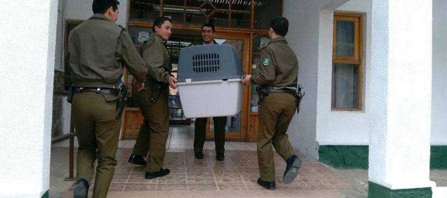 Cóndor fue rescatado por Carabineros en Cochiguaz