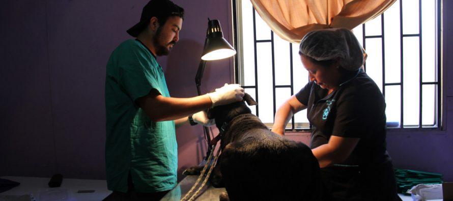 Continúan los operativos de esterilización canina y felina en la comuna de Vicuña