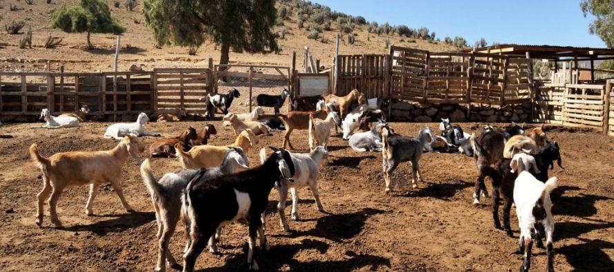 """""""Cabra coquimbana"""", el proyecto que busca dar un beneficioso giro a la ganadería caprina local"""
