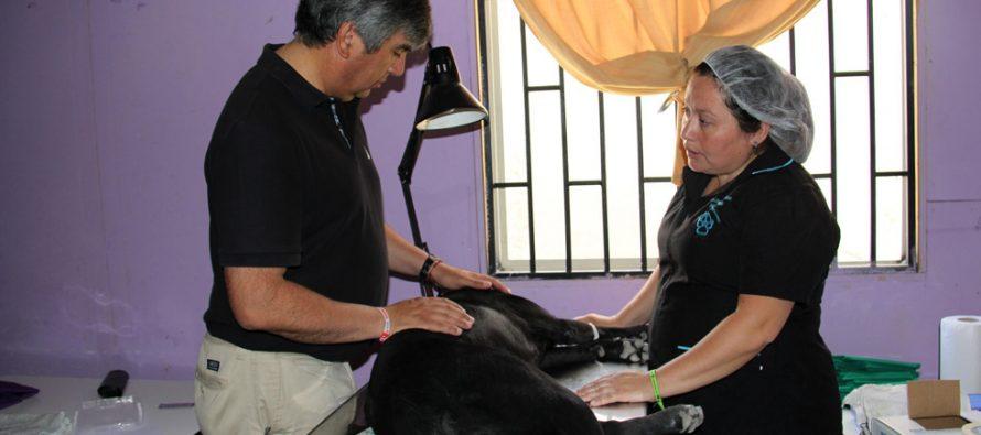 Invitan a participar del gran operativo gratuito de esterilización canina y felina en Vicuña