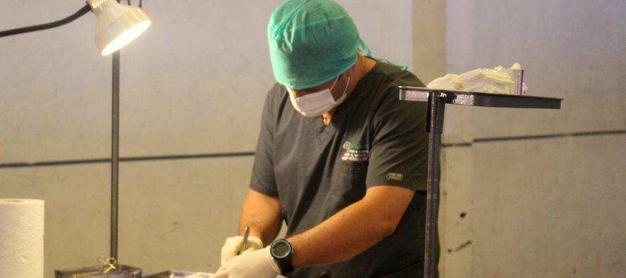Siguen las esterilizaciones caninas y felinas que se  han realizado en toda la comuna de Vicuña
