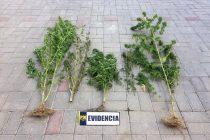 PDI incauta plantas de marihuana en domicilio de localidad de El Pangue en Vicuña