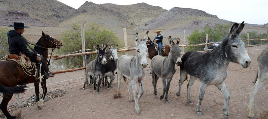 Condoriaco celebrará una nueva versión del tradicional Rodeo de Burros