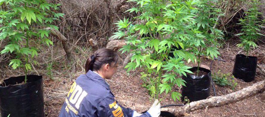 PDI detiene a sujeto por tener más de 100 plantas de cannabis en su domicilio en Vicuña