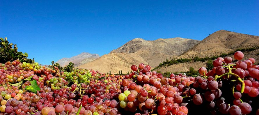 Pisco, emblema de Chile será incluido en charla de historia de viñedos antiguos en UC Davis, California