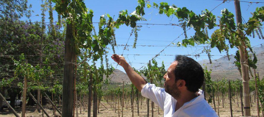 Pequeños productores de uva pisquera de Capel aprenden a manejar parrones injertados