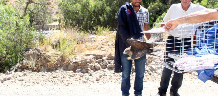 Liberan a Aguilucho que estuvo atrapado por horas en alambres de púa