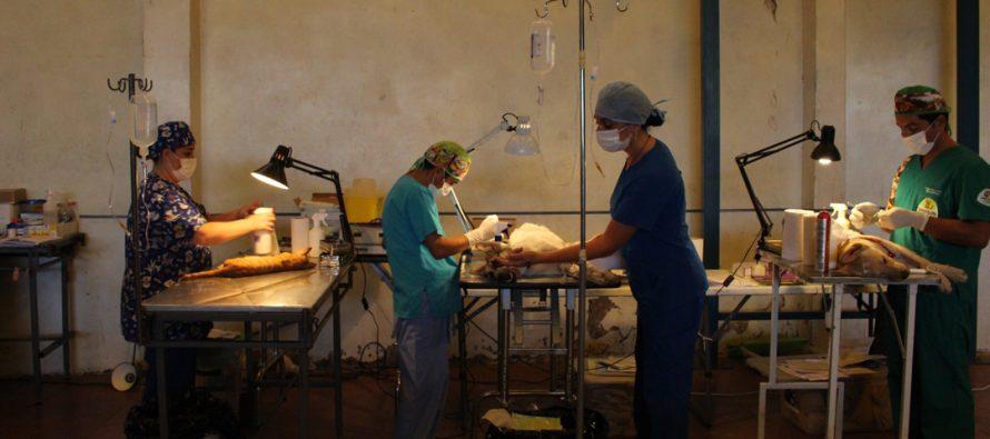 Comenzaron las mil esterilizaciones caninas y felinas financiadas por la Subdere en Vicuña
