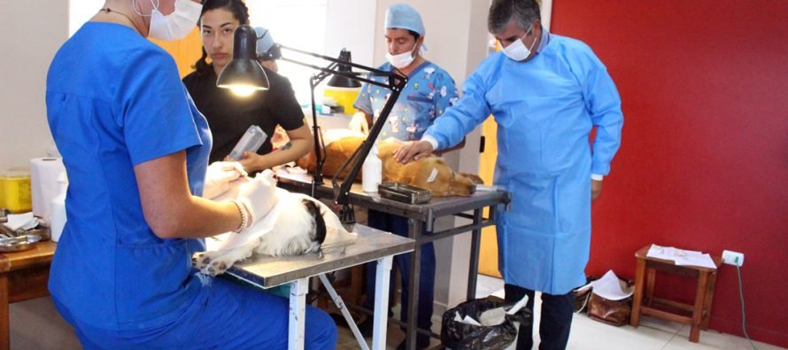 113 mascotas fueron beneficiadas con un nuevo operativo de esterilización en Vicuña