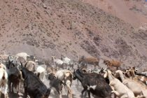 Precipitaciones entregan algo de tranquilidad a productores caprinos de Vicuña