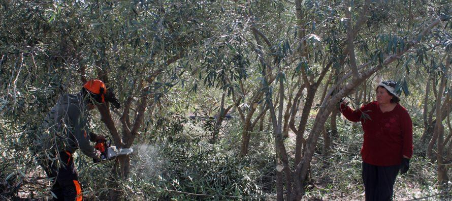Olivicultores de la Provincia de Elqui reciben apoyo de  INIA Intihuasi