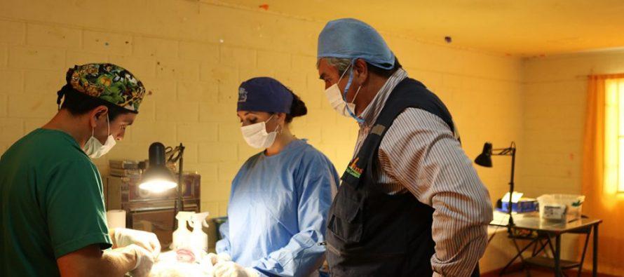 El 15 de enero comienzan las esterilizaciones caninas y felinas gratuitas en la comuna de Vicuña