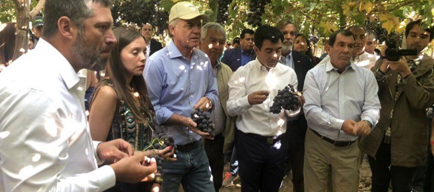 Día de campo muestra  avances de la nueva variedad de uva chilena Maylen