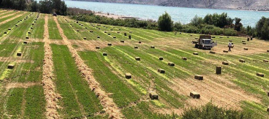 Producción de alfalfa en Puclaro