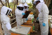Revisión de apiarios en Vicuña busca descartar la enfermedad de Loque Americana en la comuna
