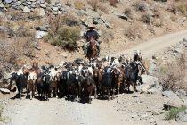Gobierno anticipa la desparasitación de ganado caprino con miras a las próximas veranadas