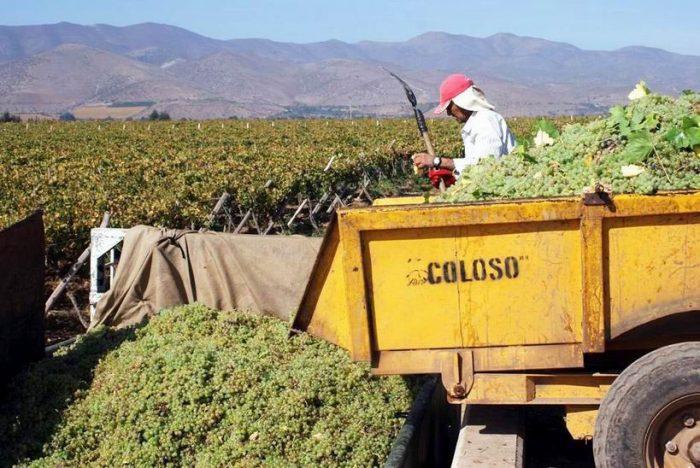 """Photo of """"Uvas Pisqueras"""", es el tema de la charla organizada por los productores de pisco"""