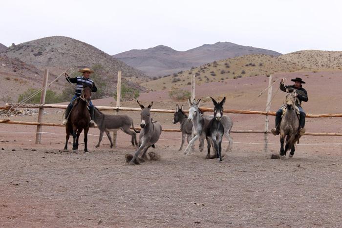 Photo of Condoriaco une a familias elquinas en el rescate de tradiciones con Rodeo de Burros