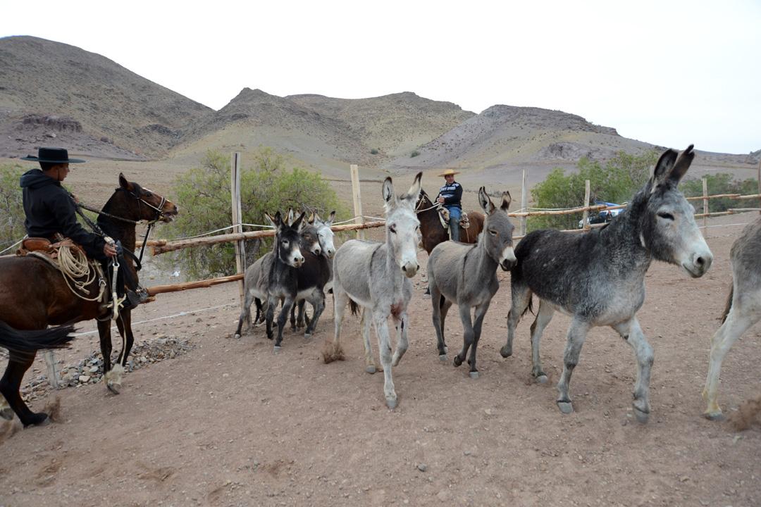 Photo of Condoriaco celebrará una nueva versión del tradicional Rodeo de Burros