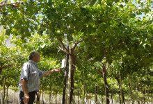 Photo of Mallas sombreadoras para uva de mesa disminuyen hasta en 25% el requerimiento de agua