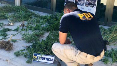 Photo of PDI incauta cannabis procesada y cultivos en tres domicilios ubicados en Vicuña