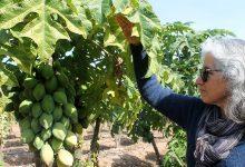 Photo of Convocan a un nuevo Webinar: «Consideraciones en la plantación de papayos»