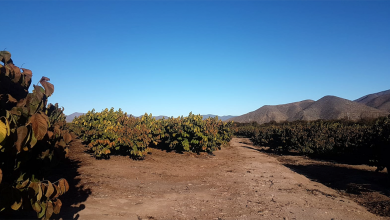 Photo of Pérdida de chirimoyas por bajas temperaturas incrementa tragedia de la sequía en la región